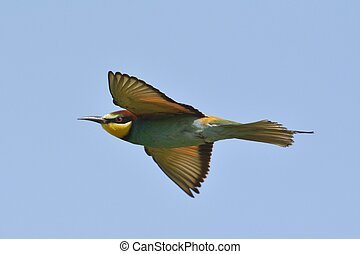 european bee-eater (Merops Apiaster)  flying