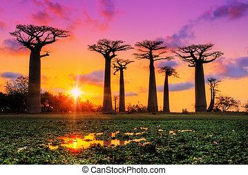 Pink sunset Baobabs - Beautiful big Baobab tree at sunset at...