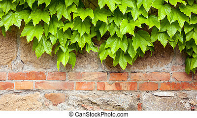 Old brick wall with green ivy climber background