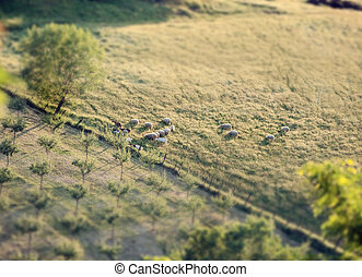 Flock of sheep in a Tuscan hill with tilt and shift effect