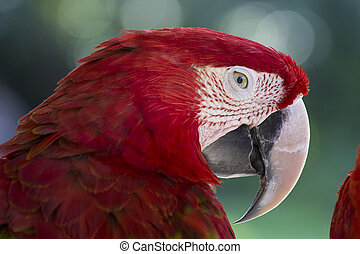 Red parrot in Bali Bird Park,, Indonesia - Red Macaw Parrot...