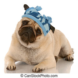 fawn pug wearing winter hat with reflection on white...