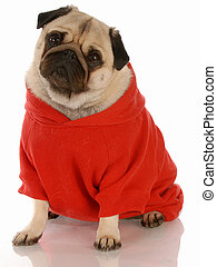 fawn pug wearing red dog sweater with reflection on white...