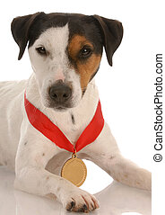 jack russel terrier with award winning medal around neck...