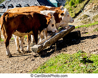 cows on a pasture - cows grazing on a pasture in austria...