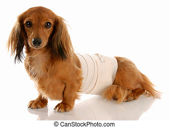veterinary care - miniature dachshund with medical bandage...