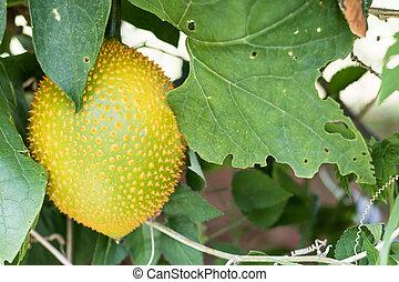 Spring Bitter Cucmber or Gac fruit - Spring Bitter Cucumber...