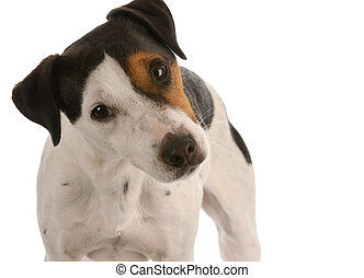 jack russel terrier portrait on white background