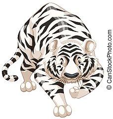 White tiger - Close up white tiger walking alone