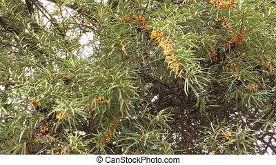 buckthorn berries tree - branch with buckthorn berries sways...