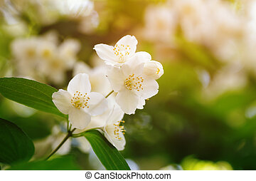 jasmine flowers blossom in warm summer light, closeup photo