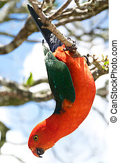 Australian King Parrot hanging down in the nature