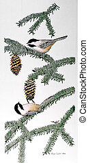 Black-capped Chickadees on spruce branch Poecile...