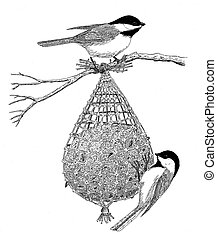 Black-capped Chickadees on suet feeder Poecile atricapillus