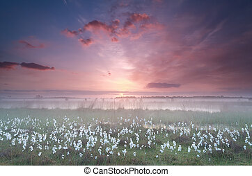 misty sunrise over swamp with cottongrass, Kampina, North...