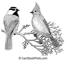 Chickadee and Titmouse - Mountain Chickadee and Juniper...