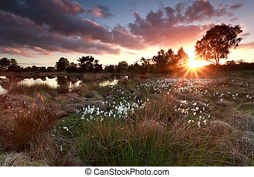 gold sunset over lake with cottongrass, North Brabant,...