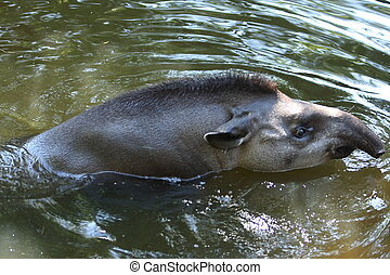Tapir swimming in pond in a zoo