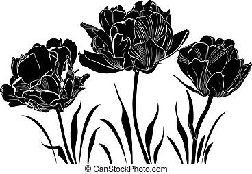 tulipán,