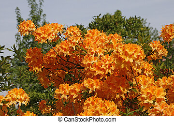 Rhododendron, Orange Azalea in spring