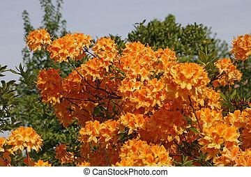 Rhododendron, Orange Azalea in spring