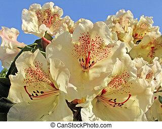Rhododendron-Hybrid \'Viscy\'