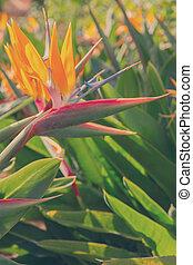 Strelizia flower - Strelizia - bird of paradize flower,...