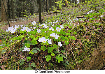Sorrel with white flowers on the forest floor.