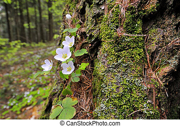 Sorrel with white flowers on the forest floor