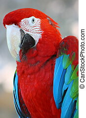 red and green macaw parrot - Head of red and green macaw...