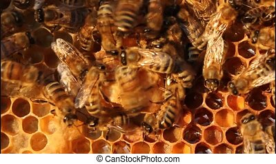 Future Queen Bee develops in a wax - Bees are paying...