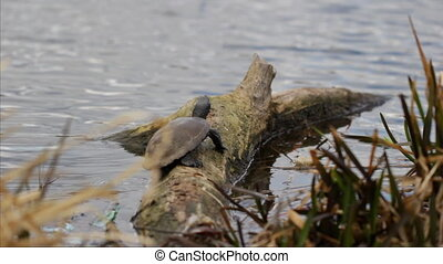 Turtle sunbathing on a log.