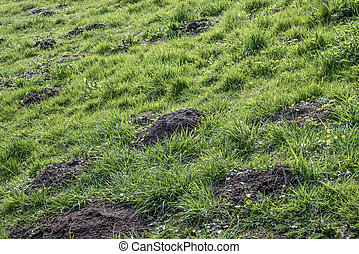 Agriculture molehills problem caused by mole in green meadow...