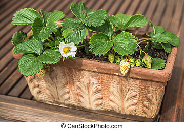 Aeriel view of blooming and green strawberries potted in...