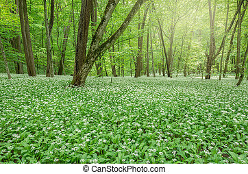 White flowers in the forest - White flowers of the ramsons...