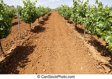 Vines plantation with red soil - Vines plantation fields at...