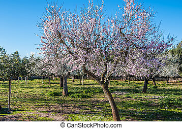 Almond trees blooming in winter sun in Majorca, Spain -...
