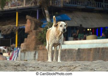 Dog on the beach of Goa, India. - Indian dog lying on the...