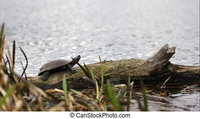 Turtle sunbathing on a log