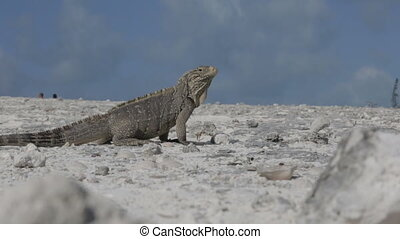 Cuban rock iguana Cyclura nubila in the wild, Cayo Largo