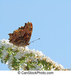 Butterfly and white Buddleja