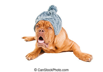 French Mastiff lying down wearing a fuzzy hat isolated on...