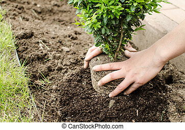 Planting in the spring, buxus flower, nice bush