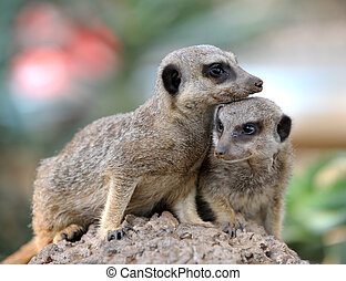 Suricata, small carnivorous mammals, a pair of observers...