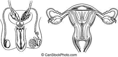 Reproduction - Male and female reproduction system