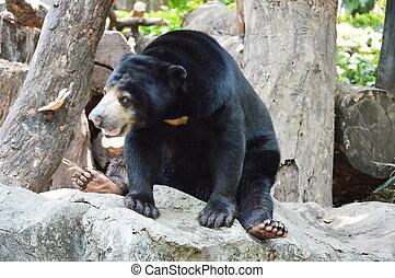 Malayan bear - Malayan bear