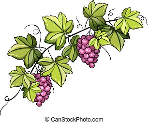 A grapevine with fruits on a white background