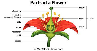 F lower - Poster showing parts of a lily flower