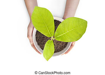 Pot magnolia isolated - Pot magnolia in female hands. The...