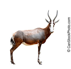 blesbok antelopes Damaliscus pygargus